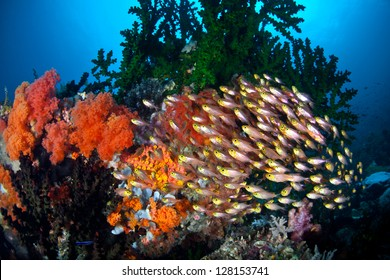 A school of Golden sweepers (Parapriacanthus ransonneti) swims among colorful soft corals and a large green cup coral colony near North Sulawesi, Indonesia.