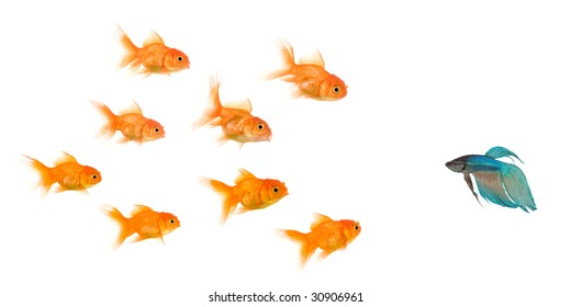School of Goldfish in front of a white background, this image can be used to represent : exclusion, bullying, chase, hunt,leading,gang, solidarity, etc