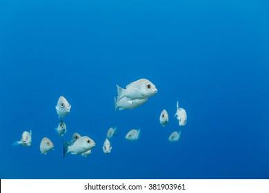 School of Gray Snapper, lutjanus griseus, swimming in blue water