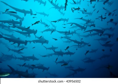 School of hammerhead in the blue, Galapagos