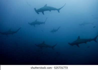 School of hammerhead sharks in cocos island