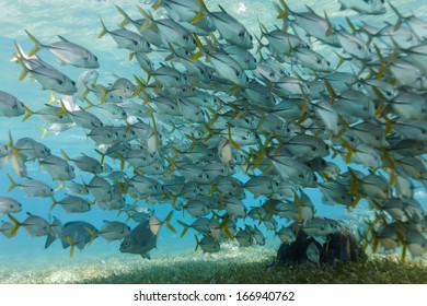 School of horse eye jack fish swim on Hol Chan coral reef