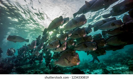 The school of humpbacked parrotfish wakes up at dawn. Sipadan. Malaysia.