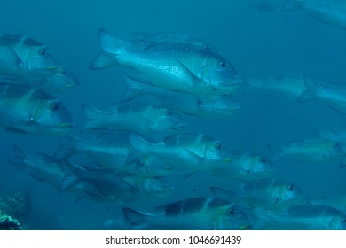 School of Humpnose big-eye bream (Monotaxis grandoculis) swimming over coral reef of Bali, Indonesia