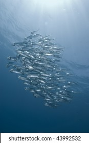 A school of Indian mackerel (Rastrelliger kanagurta) feeding in blue water. Red Sea, Egypt.