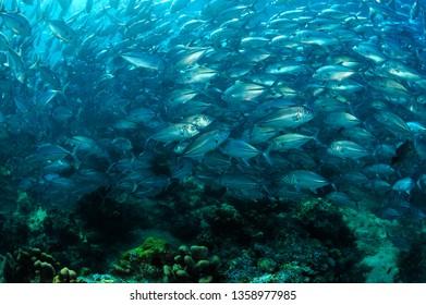 school of jack fish in sipadan