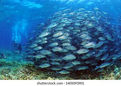school of jack fishes in sipadan island