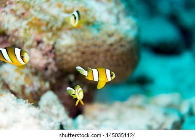 The School of juvenile anemonefish