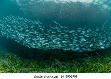 The school of juvenile sardine