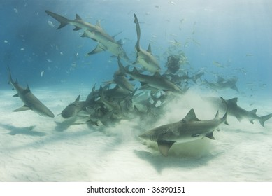 A school of lemon sharks (Negaprion brevirostris) stir up the white bottom as they scavenge for their share of food.