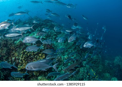 School of Longnose emperor, Rainbow runner and Trevally feeding on tropical reef