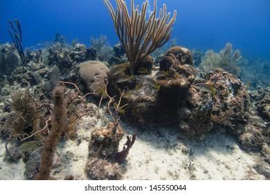 School master fish swimming around a coral head near Grand Cayman