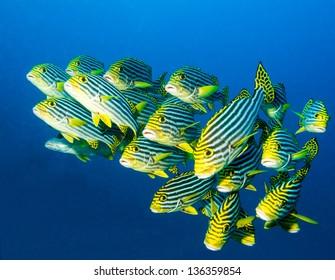 school of oriental sweetlips in blue water