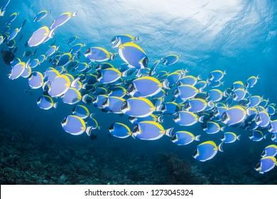 School of Powderblue Surgeonfish