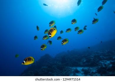 A school of raccoon butterfly fish swim in blue tropical water in this ocean underwater scene