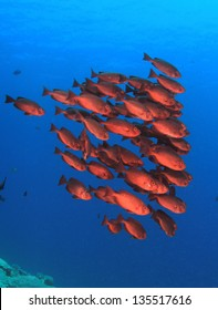 School of red fish: Common Bigeyes in blue water