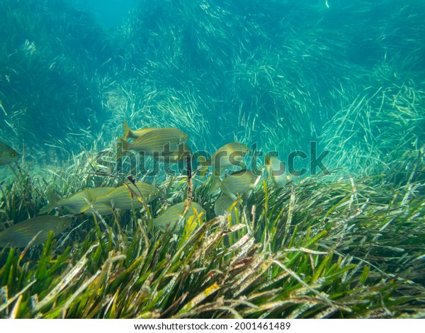 A school of Sarpa salpa swiming over the Posidonia oceanica, a lot of salemas feeding on the posidonia meadow