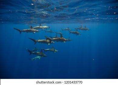 a school of scalloped hammerhead sharks