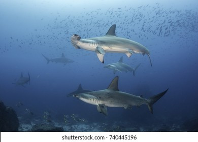 School of scalloped hammerhead sharks swimming by with two coming closer, Darwin Island, Galapagos Islands, Ecuador.