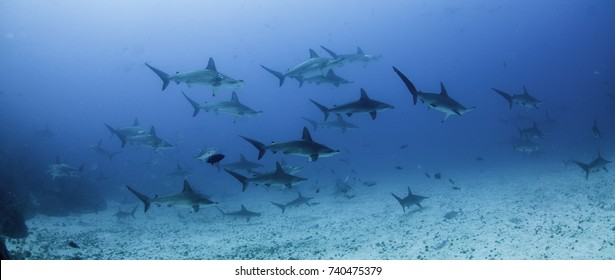 School of scalloped hammerhead sharks swimming over a sandy ocean floor, Darwin Island, Galapagos Islands, Ecuador.