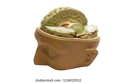 School Science Biology Model Human Skull Brains