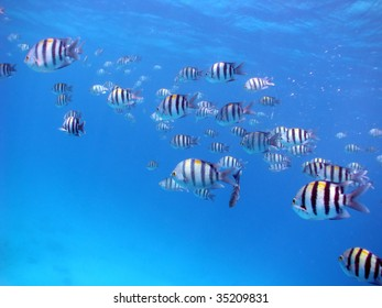 A school of Sergeant major fish