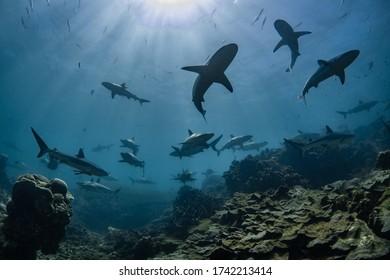 School of sharks swim overhead, shark attack, shiver, pack, hunting, Ningaloo Reef, Western Australia