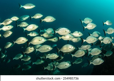 School of silver fish, Cortez Chub (Kyphosus elegans), coral reefs of Sea of Cortez, Pacific ocean. Cabo Pulmo National Park, Baja California Sur, Mexico. Cousteau named it The world's aquarium.