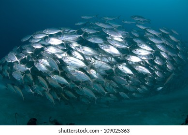 School of silver fish in defensive ball