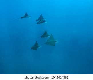 School of Spotted Eagle Rays in remote offshore Malpelo Island, UNESCO World Heritage Site in Colombia