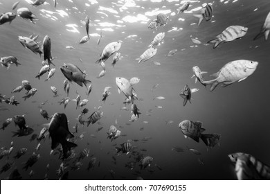 School of striped fish circle around diver black and white