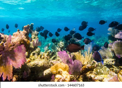 school of surgeonfish from the coral reefs of the mesoamerican barrier. Mayan Riviera, Mexican Caribbean.