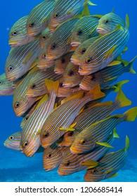 School of sweetlips fish