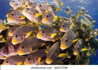 School of Sweet-lips, Great Barrier Reef, Australia