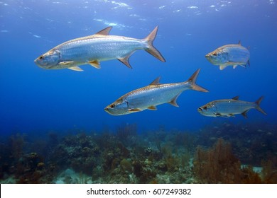 School of Tarpon in the shallows at Turneffe Atoll
