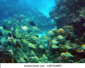 A school of tropical fish (mostly convict tangs and black tangs) swimming over a coral reef in the Huahine lagoon in French Polynesia