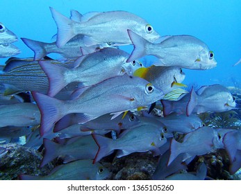 School of Tropical Fish on a Caribbean Coral Reef