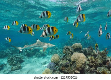 A school of tropical fish pacific double saddle butterflyfish with a blacktip reef shark and coral underwater, south Pacific ocean, French Polynesia