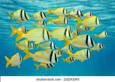 school of tropical fish, porkfish Anisotremus virginicus near water surface, Caribbean sea
