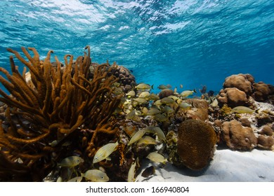 School of tropical fish swim in and out of coral on barrier reef in Belize