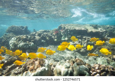 School  of tropical fishes swim over the beautiful coral reef in Hawaii