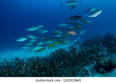 School of Tropical fishes: Travallies, Emperor, Rainbow runners, goat fish, Sweetlips