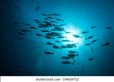 A school of unicorn fish swim above a coral reef near the island of Komodo in Indonesia. This region is extremely diverse and known for its healthy marine ecosystem.