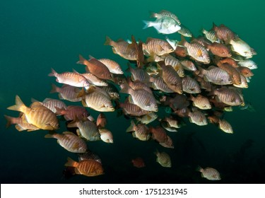 School of various perch over the S.S. Avalon Wreck