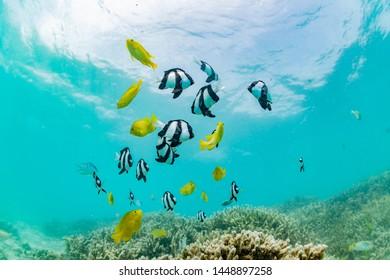 School of Whitetail dascyllus on the coral