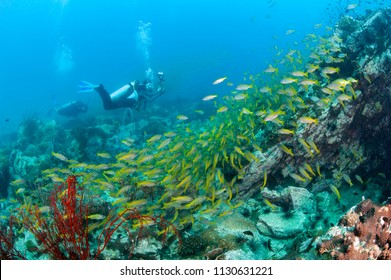 School of yellow fish (Big eye Snappers) on coral reef underwater in front of scuba diver photographer in good visibility at Koh Chang, Trat, Gulf of Thailand. Thailand underwater photography.