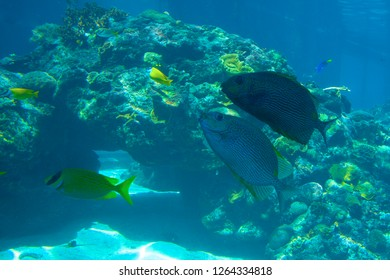 A school of yellow fish and two big tropical fish and coral reefs. View of sunlight (sun beams, rays) and water surface from underwater. The aquarium at Townsville, Queensland, Australia.