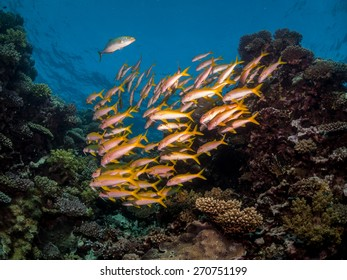 School of yellow goatfishes over the coral reef.
