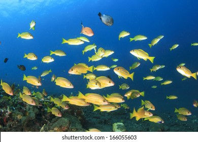 School of yellow Snapper fish in blue water