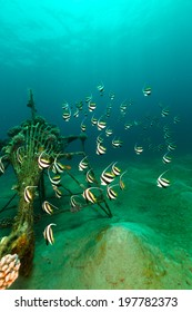 Schooling bannerfish and the aquatic life in the Red Sea